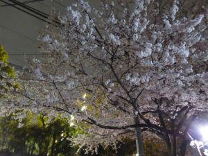 4月の夜桜-2