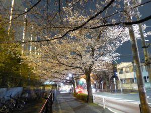 4月の夜桜-3